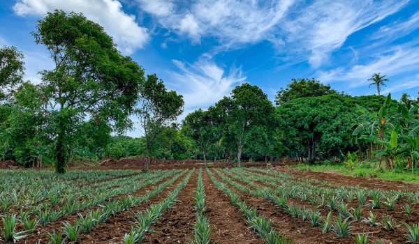 alphaland-balesin-pineapple-farm (1)