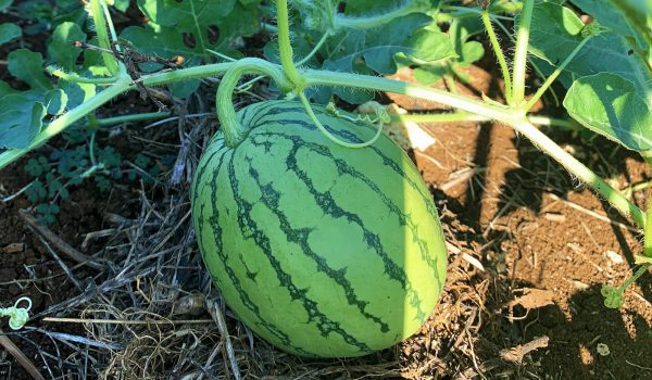 alphaland-tahik-watermelon (1)
